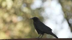 Crow walks across a fence Stock Footage