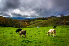 cows in a field at moses cone park, on the blue ridge parkway, north carolina - stock photo