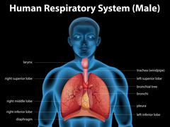 Human respiratory system - stock illustration