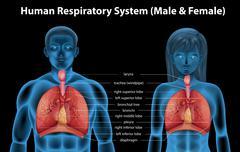Stock Illustration of Human respiratory system