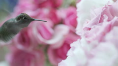 closeup hummingbird with pink flowers - stock footage