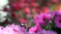 Hummingbird feeding among pink flowers Stock Footage
