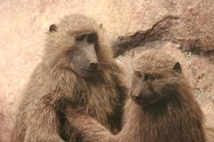 Mother and son of baboon Stock Photos