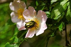 Protaetia fieberi specie of Beetle - stock photo