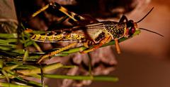 one locust eating - stock photo