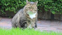 big tabby cat looking around - stock footage