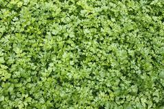 green plants of leaf parsley - stock photo