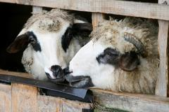 Close up of sheep locked up in wooden stall Stock Photos