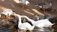Group of ducks eating Stock Footage