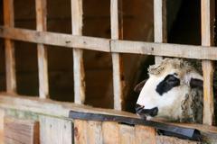 sheep in captivity - stock photo
