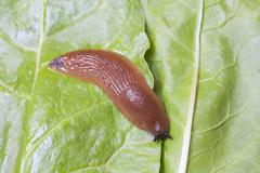 birds eye view of slug on leaves - stock photo