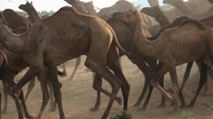 Indian shepherd and herd of camels in the Thar Desert. Pushkar, India Stock Footage