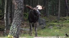 Moose in autumn - sweden - rutting season Stock Footage