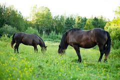 Side View of two Strong Horses in a Field - stock photo
