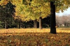 Maple Trees and Leaves Carpet During Fall Stock Photos