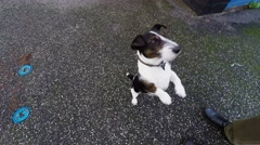 Clever Jack Russel terrier wanting food Stock Footage