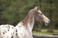 potrait of beautiful appaloosa mare - stock photo