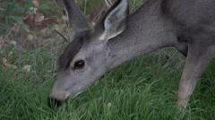 Wild Deer Eats Grass Head Close Up Stock Footage
