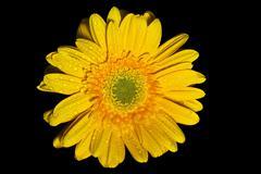 Yellow gerbera daisy Stock Photos