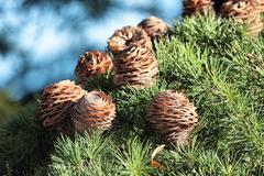 Pine cones Stock Photos