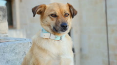 Cute dog standing quiet and looking at something: yellow dog, mixed race dog Stock Footage