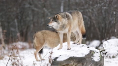 Wolf pack in winter forest alerted looking around Stock Footage