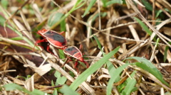 Two red insects attached to each other in Sri Lanka Stock Footage