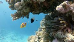 Tropical fish, Clownfish, Coral Reef, static scene, Red sea Stock Footage
