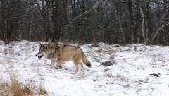 Wolf in winter forest passing by right to left Stock Footage