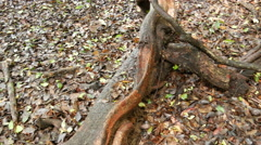 Tilt from big jungle tree roots in Sri Lanka Stock Footage