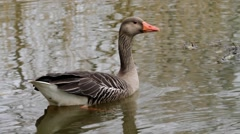 Greylag Goose swimming on a Pond Stock Footage