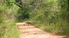 Jackals on the road in Sri Lanka Stock Footage