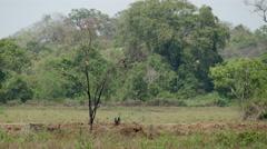 Eagles in a tree in Sri Lanka Stock Footage