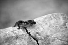 gecko lizard on rocks - stock photo