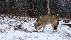 Wolf in winter forest feed on fresh meat company by magpie bird Stock Footage