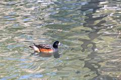 Carolina or wood duck Stock Photos