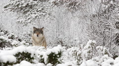 Wolf in winter forest looking alerted run away left to right Stock Footage
