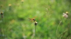 Red veined darter dragonfly on camomile. Blurred nature background. HD. Stock Footage
