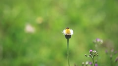 Stock Video Footage of Butterfly and fly resting on a camomile. HD. 1920x1080