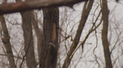 Ukraine, Grey-headed woodpecker Stock Footage