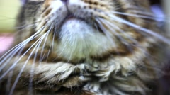 Close up of Maine Coon black tabby cat with green eye. HD. 1920x1080 Stock Footage