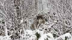Wolf in winter forest looking alerted hiding behind trees Stock Footage