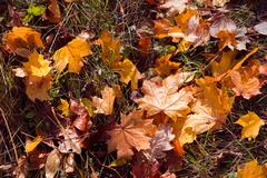 colorful and bright background made of fallen autumn leaves - stock photo