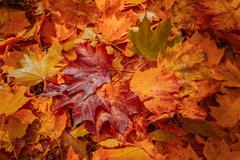 Colorful and bright background made of fallen autumn leaves Stock Photos