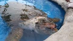 Sea Turtle eating in Projeto Tamar in Mata de Sao Joao, Bahia, Brazil Stock Footage