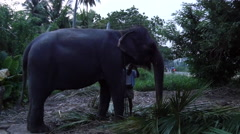 Man  ties the elephant in the evening in Habarana Stock Footage