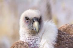 Griffon vulture Kuvituskuvat