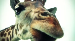 Coor FX Giraffe looking through car top for feeding - stock footage