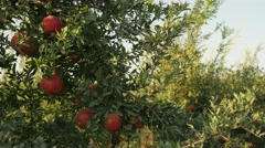 Pomegranate tree 4K 1 Stock Footage