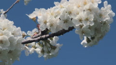 Cherry Sprig Swinging on the Wind Stock Footage